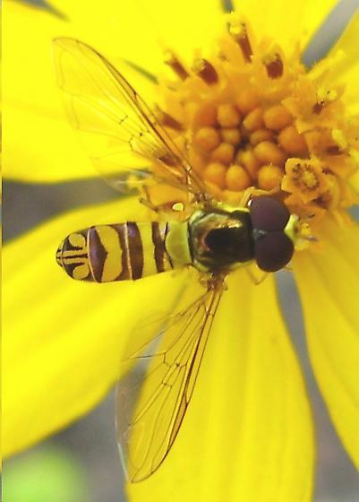 Syrphid - Allograpta obliqua - male