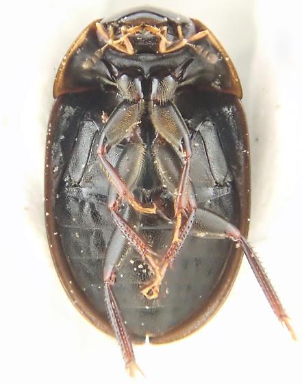 Beetle - Cymbiodyta
