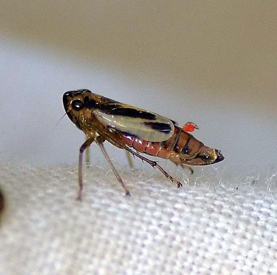 Evacanthus ustanucha