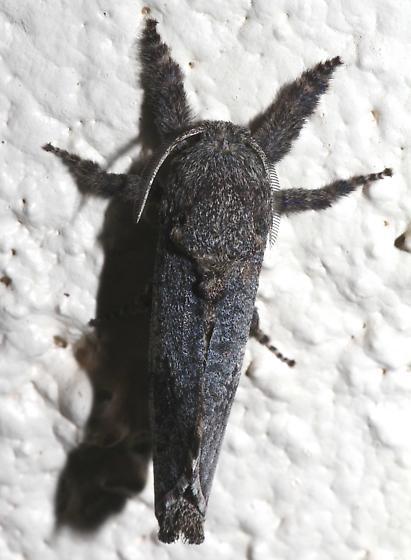 Large Moth - Givira mucida