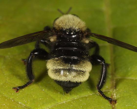 Robber Fly - Laphria posticata - female