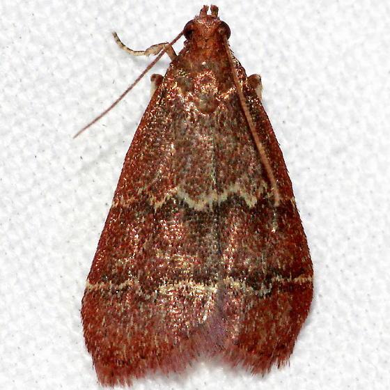 Unknown Moth - Heliades mulleolella