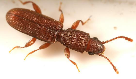 Silvanid Flat Bark Beetle - Cathartosilvanus imbellis