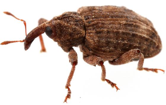Conotrachelus seniculus? - Conotrachelus seniculus