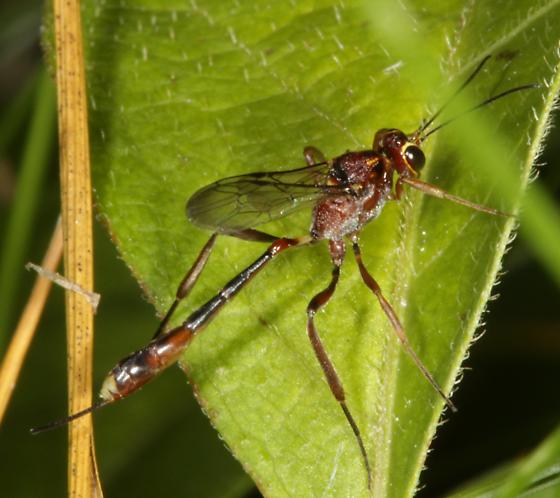 Ichneumon(?) red brown - Anomalon ejuncidum