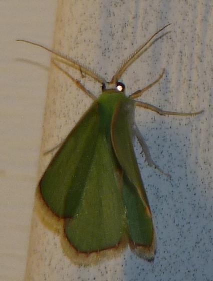 small green moth w/ partially upright wings - Nemoria