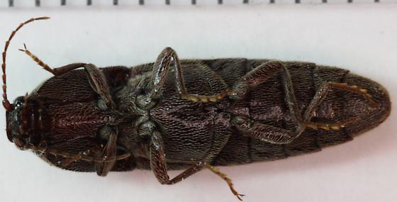 Click Beetle - Melanotus