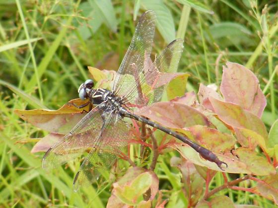 Dragonfly Species 3 - Aphylla williamsoni - male