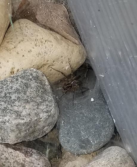 Grass spider?  - Agelenopsis