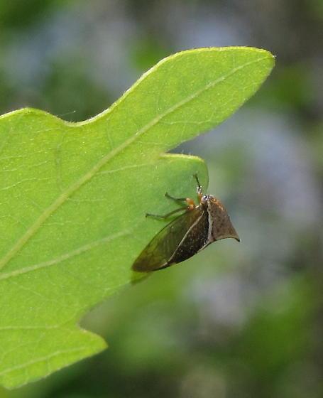 Which Ceresa? - Stictocephala albescens