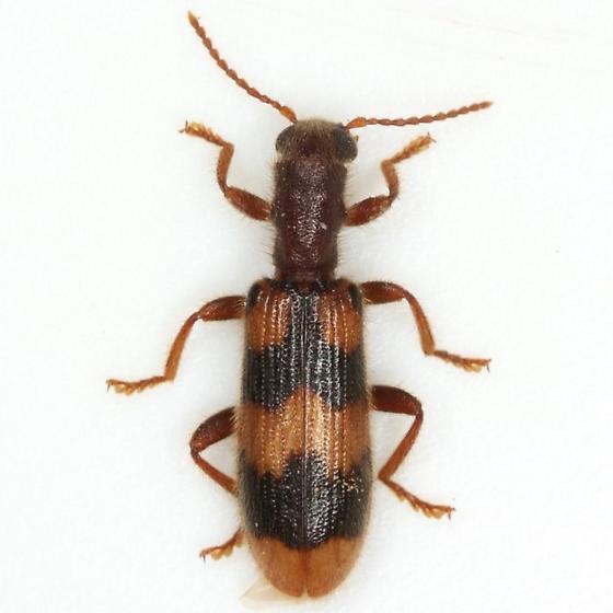 Cymatodera sirpata Horn - Cymatodera sirpata