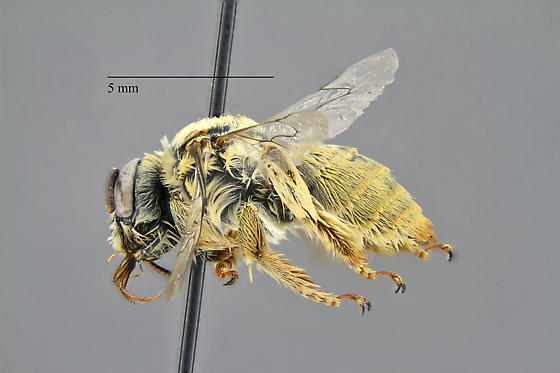 Anthophila (Apoidea) - Diadasia ochracea - female