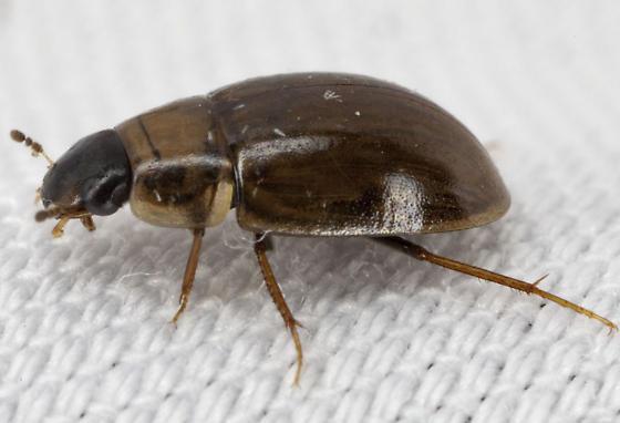Beetle IMG_9737 - Enochrus