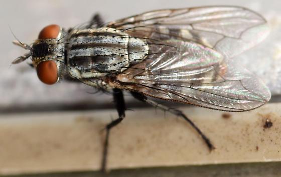 flesh fly - female