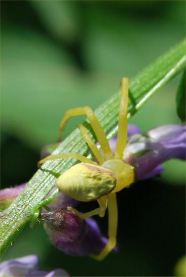 pretty yellow spider - Misumena vatia