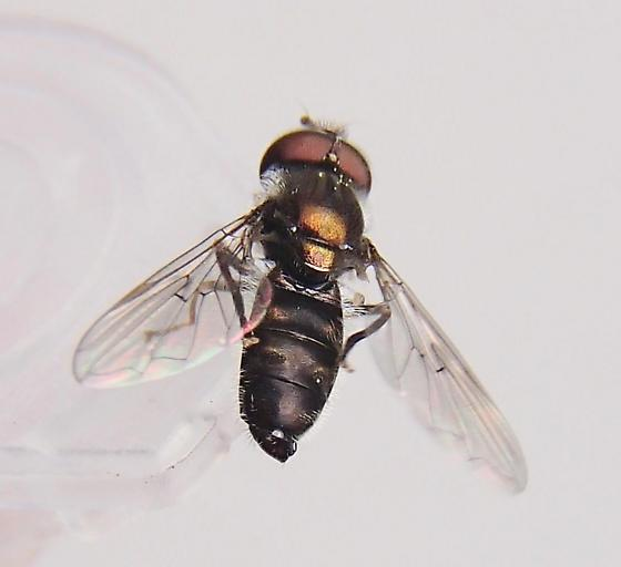 Fly  - Heringia salax - male