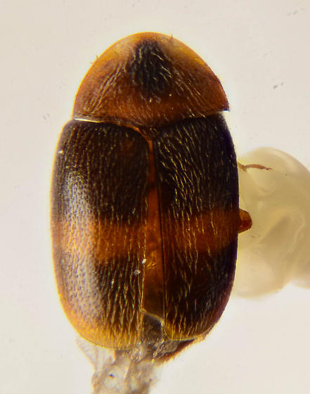 Corylophid ? - Clypastraea fasciata