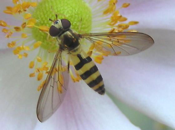 Meliscaeva cinctella - female