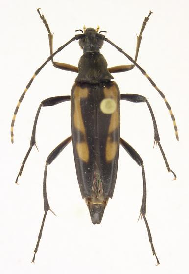 Etorofus subhamatus - male