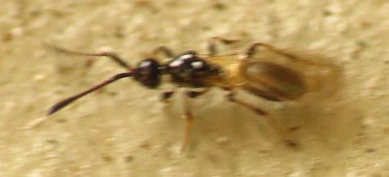 Tiny black wasp - Trichopria