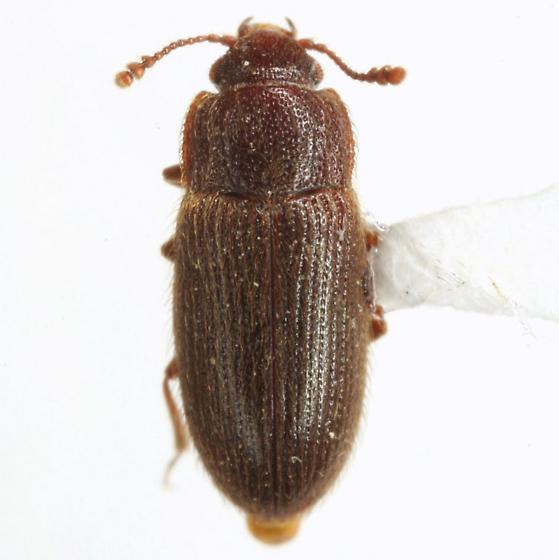 Diplocoelus brunneus LeConte - Diplocoelus brunneus