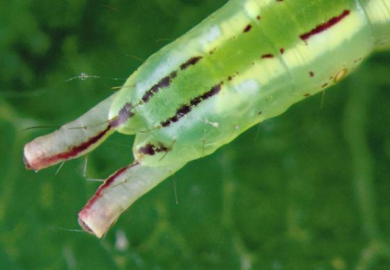 Notodontidae, Saddled Prominent, end of abdomenX - Heterocampa guttivitta