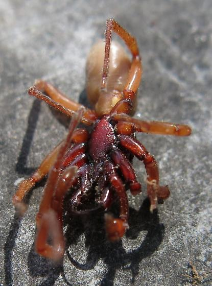 Maroon and white spider like bug - Dysdera crocata