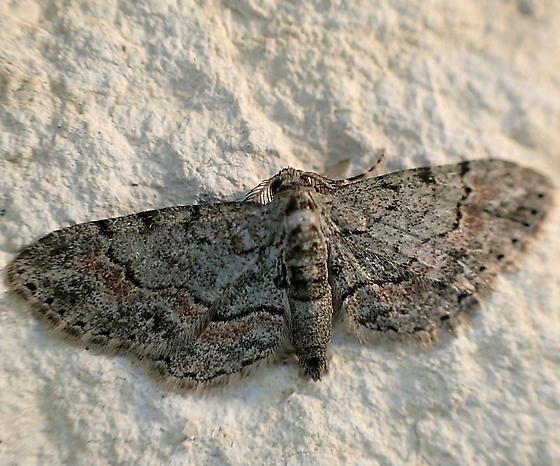 Iridopsis defectaria  ? - Glenoides texanaria - male