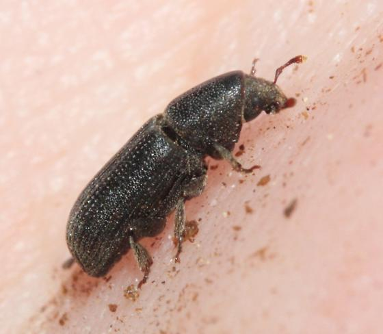 Beetle - Hylastes