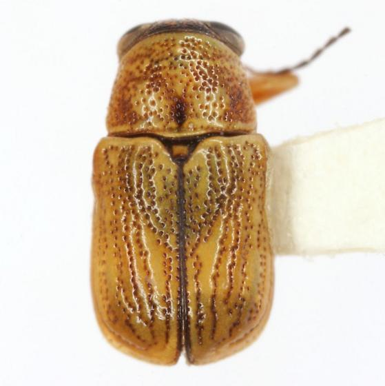 Pachybrachis abdominalis (Say) - Pachybrachis abdominalis - female