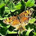 Small butterfly Crescent???? - Phyciodes tharos