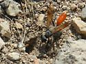 Large wasp with orange abdomen digging burrow in the gravel path. - Sphex lucae