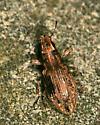 Weevil on rock - Sitona lepidus
