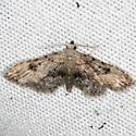 Moth - Sigela brauneata