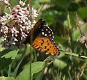 Nectaring on common milkweed - Speyeria idalia