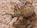 Weevil ? - Otiorhynchus porcatus