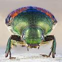 Japanese Beetle - Popillia japonica - female