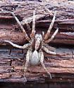 wolf spider - Hogna frondicola