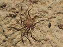 Spider ID? - Selenops