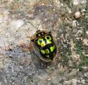 Mottled Tortoise Beetle - Deloyala lecontii