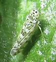 Leafhopper - Eupteryx melissae
