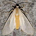 Tiger Moth - Halysidota