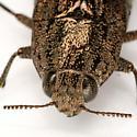 Dicerca obscura or lurida (found nr. Salix) - Dicerca obscura