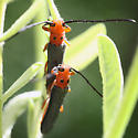 longhorns - Oberea ocellata