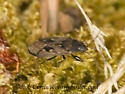 9059468 bug - Sphragisticus nebulosus