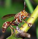 Polybiomyia schnablei
