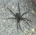 Dark brown spider with spiny legs - Pardosa