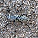 Beetle - Epicauta