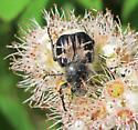 Flower scarab - Trichiotinus assimilis