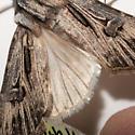 Agrotis venerabilis - male